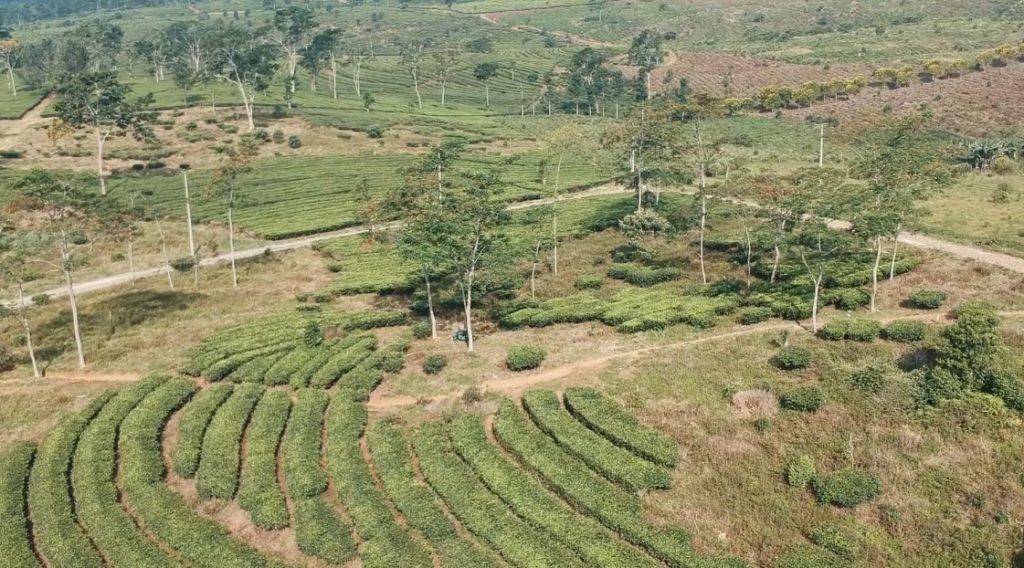 wisata perkebunan teh ciater